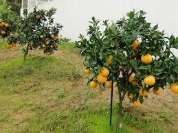 orange trees b b quinta verde