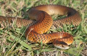 8 myths about snakes museums victoria
