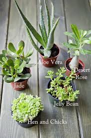 best 25 types of succulents ideas on pinterest indoor cactus best