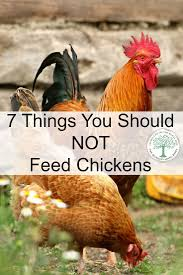 69 best homestead chickens images on pinterest raising