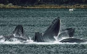whale wikipedia