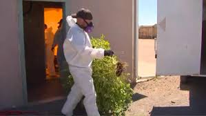 pueblo county a spot for illegal pot grow operations cbs denver
