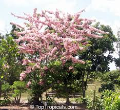 pink shower tree appleblossom tree cassia nodosa trees