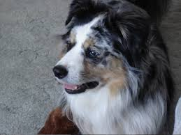 australian shepherd eye diseases all testimonials