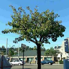 southern california native plants landscaping are trees to blame for the lack of shade in southern california