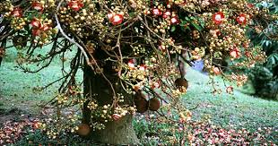 kailashpati a sacred rare medicinal u0026 eye catching tree never