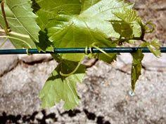 vitis vinifera ornamental grape description vigorous ornamental