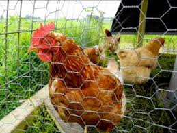 Backyard Poultry In India 100 Backyard Poultry In India Yap Proposal 333 Livelihood