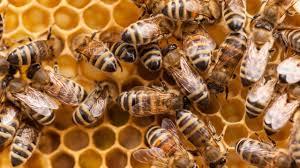 bee populations decline due to pesticides habitat loss