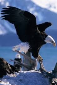 stellers sea eagle wallpapers 20 different types of eagles with pictures bald eagle eagle