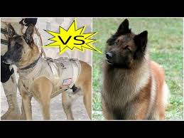 belgian sheepdog poodle mix belgian groenendael hd video funnydog tv