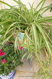 Spider Plant Propagating And Caring For Spider Plants A Cycle That Keeps