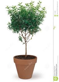 potted tree stock photo image of growing flowering fresh 1143486