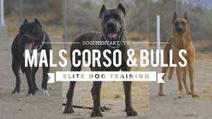 belgian shepherd wanted cane corso belgian malinois pit mix elite dog training youtube