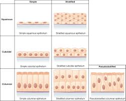 epithelial tissue anatomy and physiology