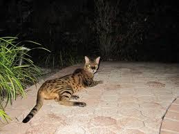 hybrid cat facts photos videos stories