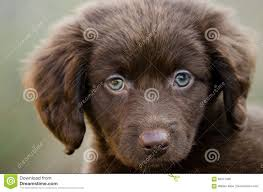 australian shepherd spaniel mix chocolate spaniel aussie mixed breed puppy dog stock photo image