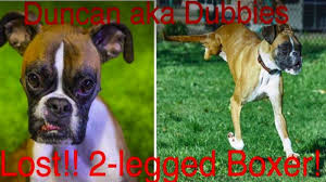 3 legged boxer dog famous 2 legged dog ejected in rollover car accident found after day l