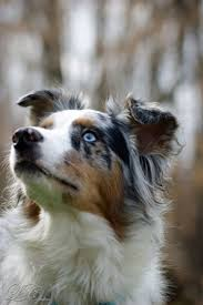 australian shepherd water 339 best australian shepherds images on pinterest aussie dogs