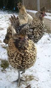 Best Backyard Chicken Breeds by 45 Best Breeds Images On Pinterest Chicken Breeds Raising
