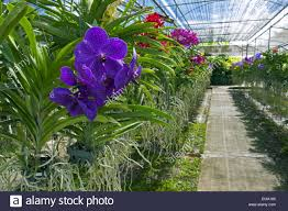 colourful orchids in glasshouse bai orchid and butterfly farm