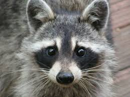 Raccoon Meme - meme maker raccoon generator