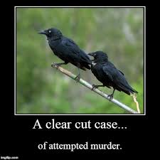Attempted Murder Meme - murder of crows imgflip