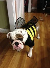 Halloween Costumes English Bulldogs Dog Halloween Costume Fat Bumble Bee
