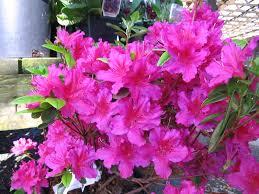 Azalea Topiary Rhododendron U0027pearl Bradford U0027 Azalea 2 3 U0027 Tall X 3 4 U0027 Wide Part