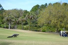 Map Of Kiawah Island It Was Literally A Dinosaur U0027 Large Alligator Sneaks Up On Golfers