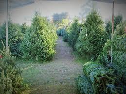 florida christmas tree farms christmas lights decoration