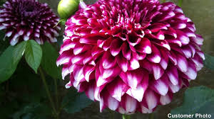 dahlias flowers growing dahlias it s easy