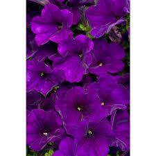 purple flowers proven winners supertunia royal velvet petunia 4 25 in grande 4