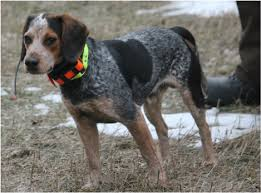 videos of bluetick coonhounds our dogs beagle boys rabbit hunting