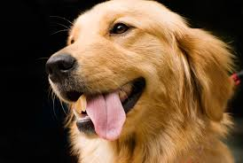 5 things you should know before getting a golden retriever animalso