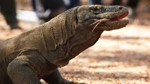 Seeking Lizard Komodo Bites Photo Seeking Tourist In Indonesia Stuff Co Nz