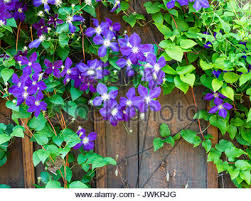 Purple Flower On A Vine - vine flowers on a wooden fence stock photo royalty free image