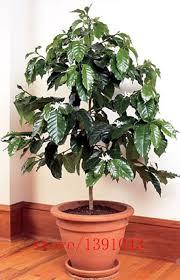 Plants For Home Decor 20pcs Coffee Bean Seeds Coffee Shrub Of Arabia Coffea Arabica