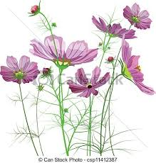 vector garden flowers cosmos bipinnatus stock illustration