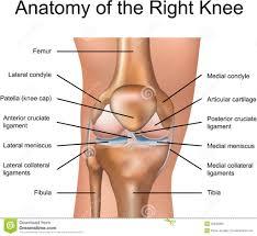 Interactive Knee Anatomy Human Knee Human Knee Anatomy 3d With Full Of Human Knee Anatomy