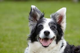 australian shepherd quirks mindful leadership disposition busy and bossy