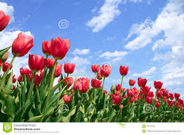 spring flowers tulips in blue sky royalty free stock image image