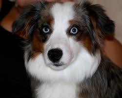 adopt a australian shepherd co wy ut mt id nm available dogs western australian
