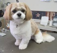 shih poo haircuts 27 best s h i h p o o s images on pinterest doggies dogs and
