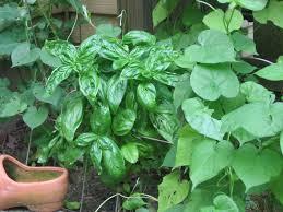 growing vegetables in a small garden plot vegetable garden