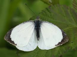 great white butterfly pests