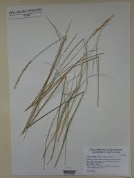 seinet arizona chapter leymus salina