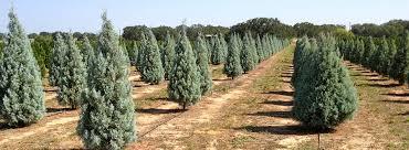 christmas tree pic it s always christmas on the farm devine acres farm family