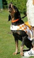 bluetick coonhound smokey why is tennessee u0027s mascot the volunteers quora
