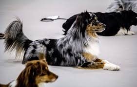 australian shepherd water mascusa